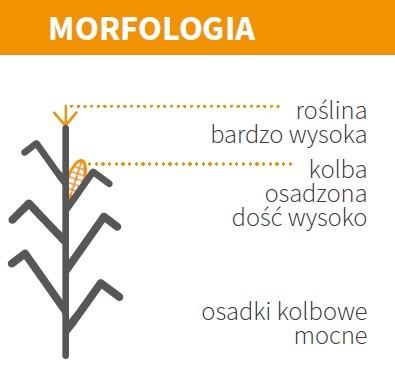 KUKURYDZA ES TOLERANCE - MORFOLOGIA