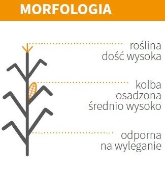 KUKURYDZA ES GALLERY - MORFOLOGIA