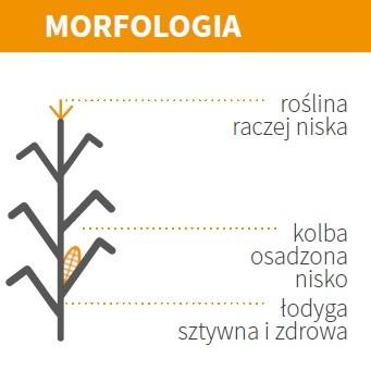 KUKURYDZA MAS 13.M - MORFOLOGIA