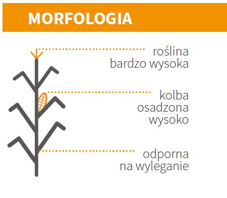 KUKURYDZA ODMIANY ES JOKER - MORFOLOGIA
