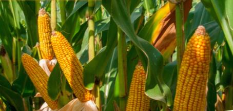 kukurydza odmiany ES gallery agrosimex