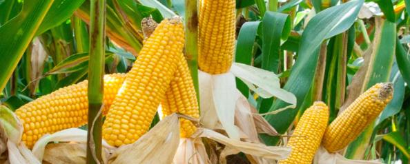 Kukurydza odmiany Mocora agrosimex