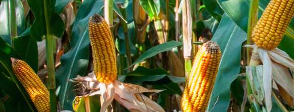 Kukurydza odmiany ES Tolerance na kiszonkę, ziarno i bioetanol