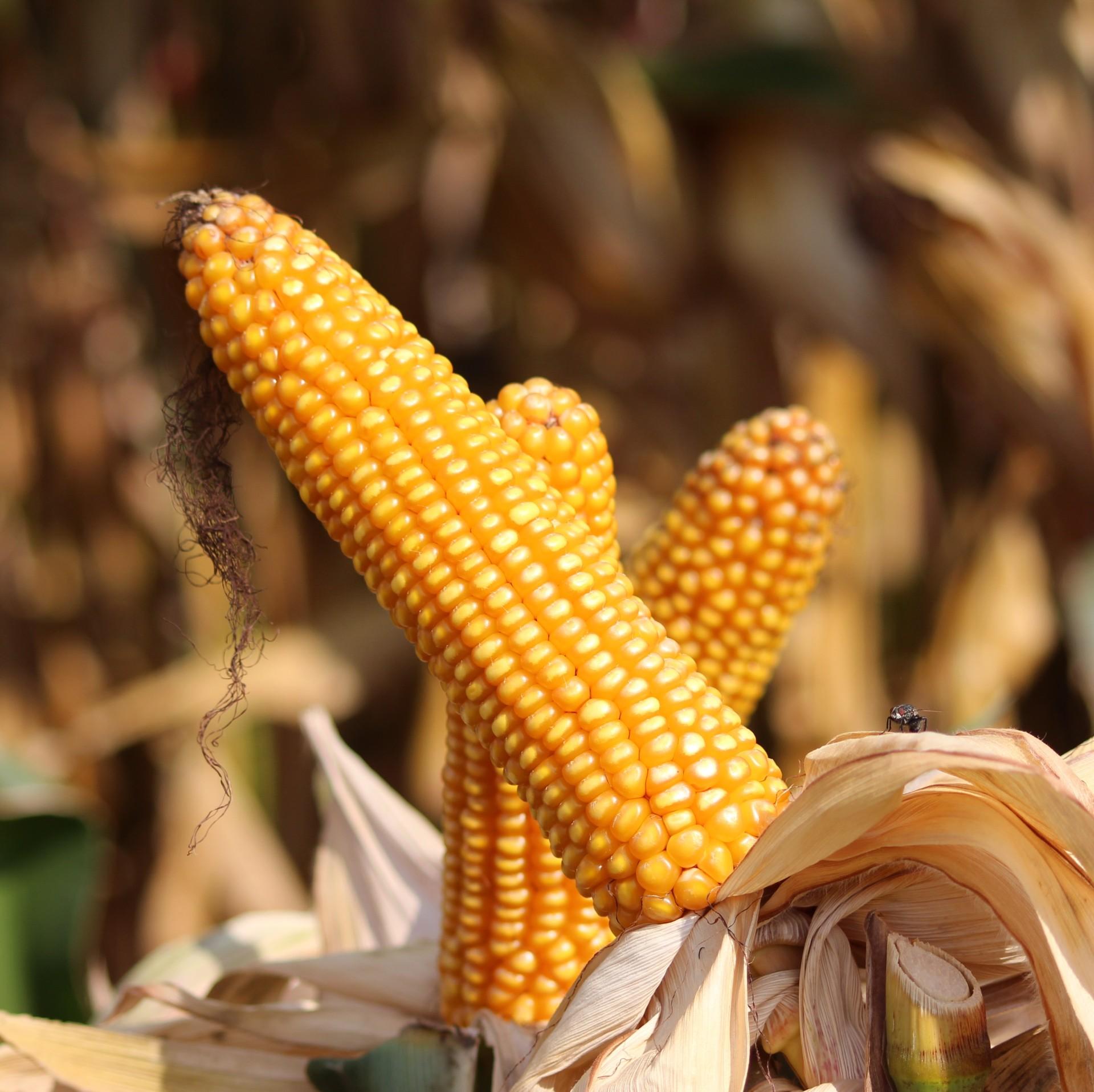 amaizi kukurydza