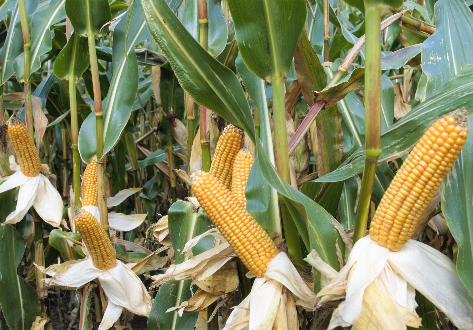 milkstar kukurydza